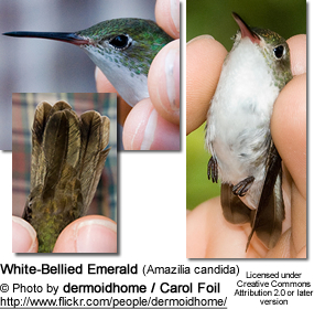 White-Bellied Emerald (Amazilia candida)