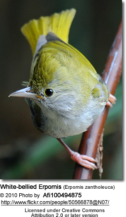 White-bellied Erpornis (Erpornis zantholeuca or simply Erpornis) - formerly known as White-bellied Yuhina