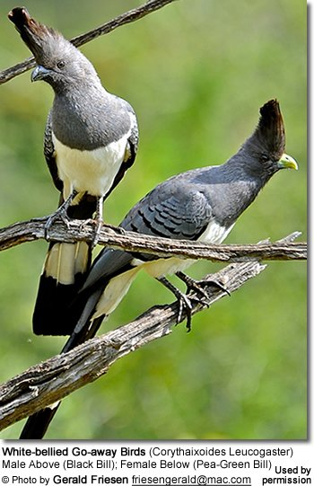 White-bellied Go-away Birds (Corythaixoides Leucogaster)