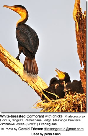 White-breasted Cormorant with chicks, Phalacrocorax lucidus