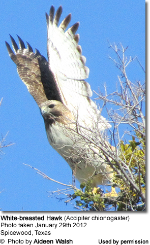 White-breasted Hawk (Accipiter chionogaster)