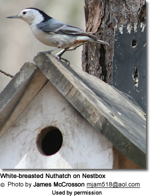 White-breasted Nuthatch on Nestbox