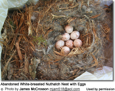 Abandoned White-breasted Nuthatch Nest with Eggs