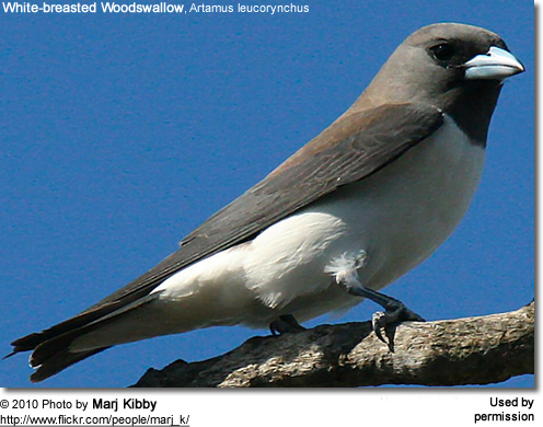 White-breasted Woodswallow, Artamus leucorynchus