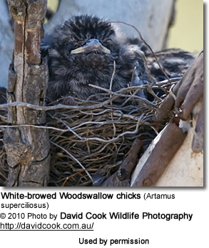 White-browed Woodswallow chicks (Artamus superciliosus)