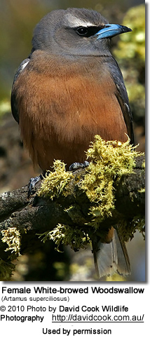 Female White-browed Woodswallow (Artamus superciliosus)