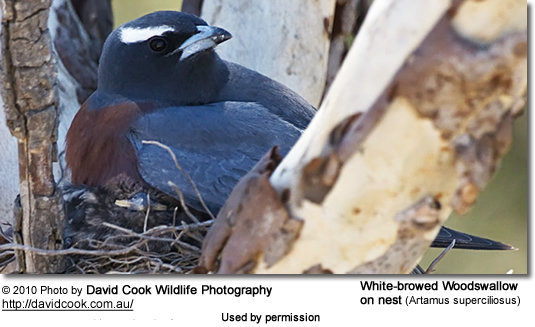 White-browed Woodswallow on nest (Artamus superciliosus)