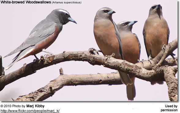 White-browed Woodswallows (Artamus superciliosus)