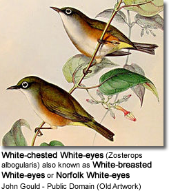 White-chested White-eyes (Zosterops albogularis) also known as White-breasted White-eyes or Norfolk White-eyes