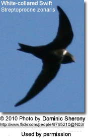 White-collared Swift, Streptoprocne zonaris