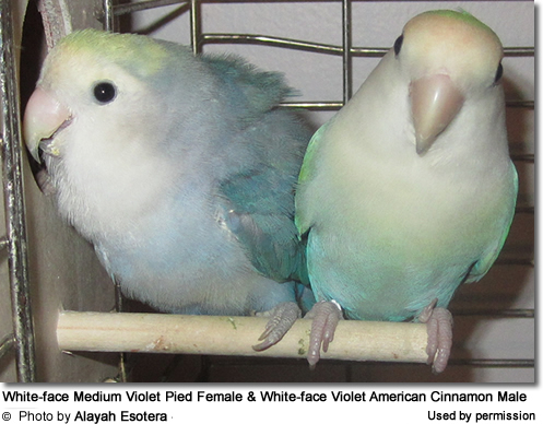 White-face Medium Violet Pied Female and White-face Violet American Cinnamon Male