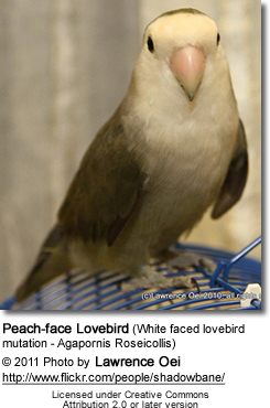 Peach-face Lovebird (White faced lovebird mutation - Agapornis Roseicollis)