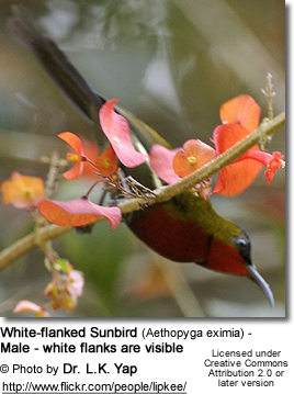 White-flanked Sunbird (Aethopyga eximia) - Male - white flanks are visible