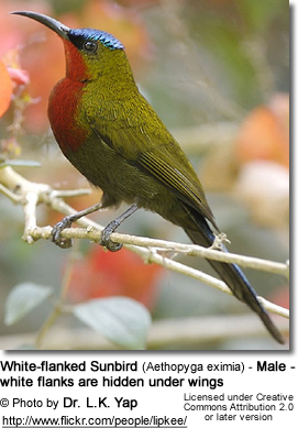White-flanked Sunbird (Aethopyga eximia) - Male - white flanks are hidden under wings