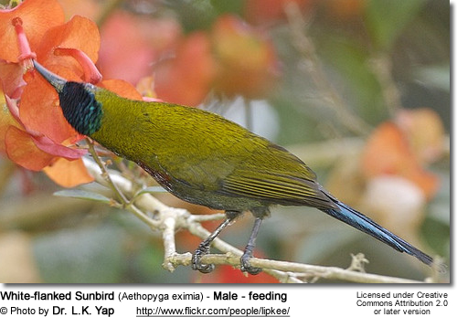 White-flanked Sunbird (Aethopyga eximia) - Male - feeding
