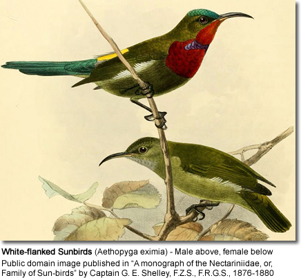 White-flanked Sunbirds (Aethopyga eximia) - Male above, female below