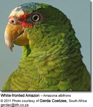 White fronted Amazon – Amazona albifrons