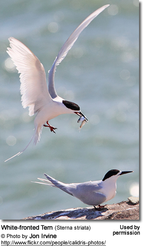 White-fronted Terns or Black-naped Terns