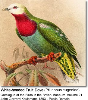 White-headed Fruit Dove (Ptilinopus eugeniae)