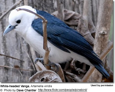 White-headed Vanga, Artamella viridis