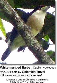 White-mantled Barbet, Capito hypoleucus