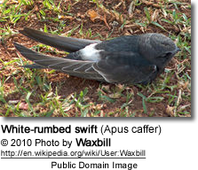 White-rumbed swift (Apus caffer)