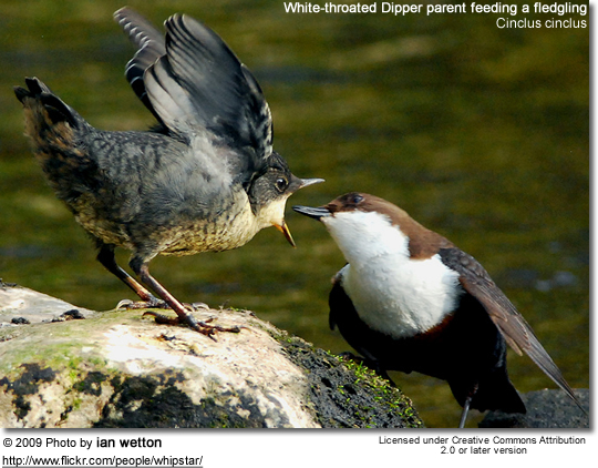 White-throated Dipper parent feeding a fledgling