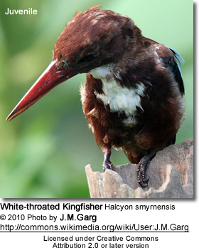White-throated Kingfisher Halcyon smyrnensis - Juvenile
