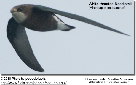 White-throated Needletail (Hirundapus caudacutus), also known as Needle-tailed Swift or Spine-tailed Swift