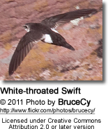 White-throated Swift (Aeronautes saxatalis)