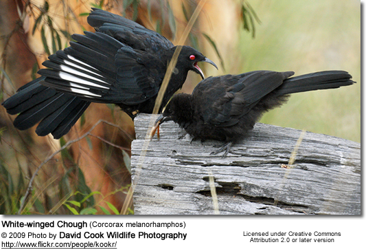 White-winged Chough (Corcorax melanorhamphos)