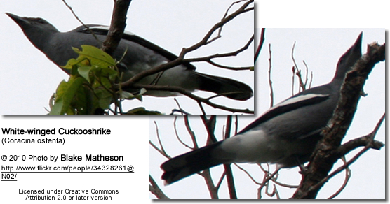 White-winged Cuckooshrike (Coracina ostenta)