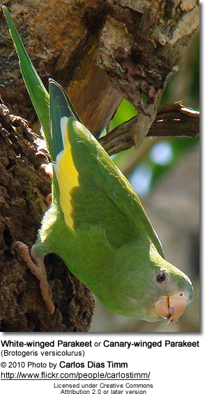 White-winged Parakeets or Canary-winged Parakeets (Brotogeris versicolurus)