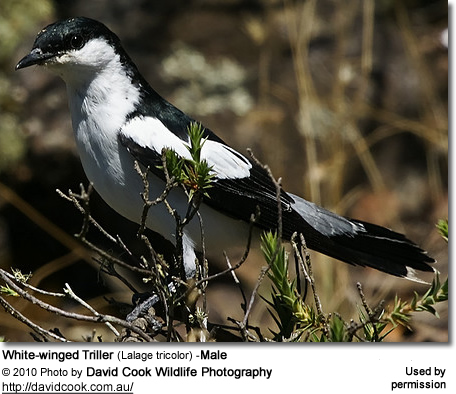 White-winged Triller (Lalage tricolor) -Male