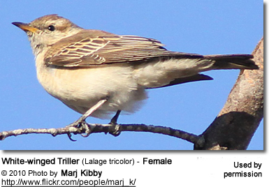 White-winged Triller (Lalage tricolor) - Female