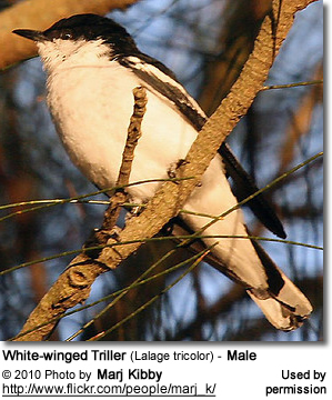 White-winged Triller (Lalage tricolor) - Male