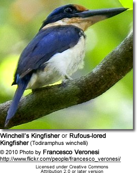 Winchell's Kingfisher or Rufous-lored Kingfisher (Todiramphus winchelli)