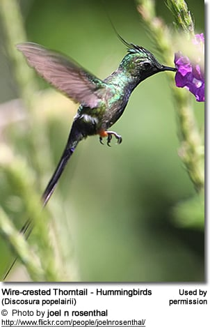 Wire-crested Thorntail - Hummingbirds (Discosura popelairii)