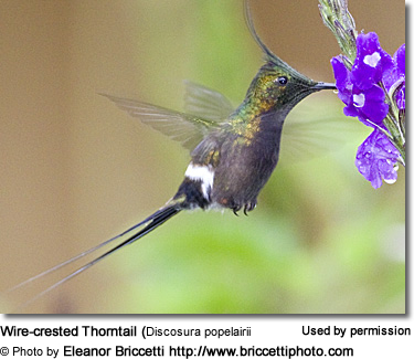 Wire-crested Thorntail (Discosura popelairii