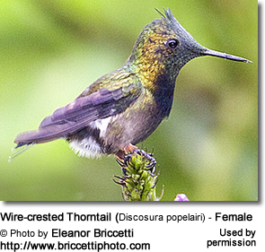 Wire-crested Thorntail (Discosura popelairi) - Female