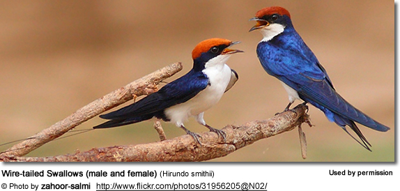Wire-tailed Swallows (male and female) (Hirundo smithii)