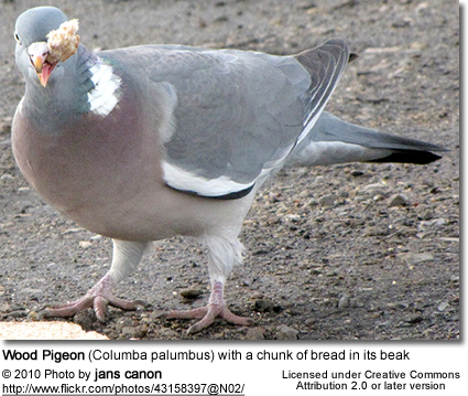 Wood Pigeon (Columba palumbus) with a chunk of bread in its beak
