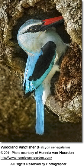 Woodland Kingfisher (Halcyon senegalensis) at nest
