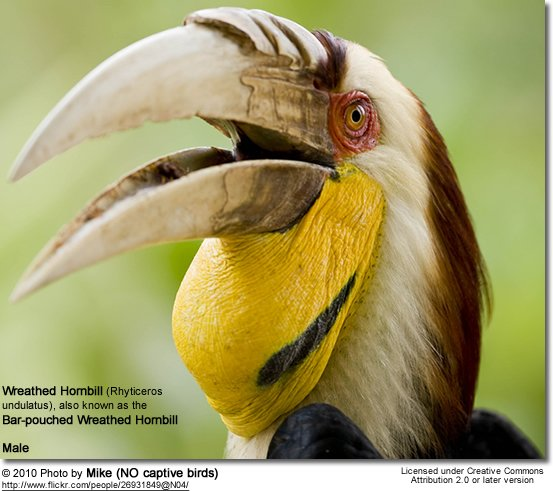 Wreathed Hornbill (Rhyticeros undulatus), also known as the Bar-pouched Wreathed Hornbill