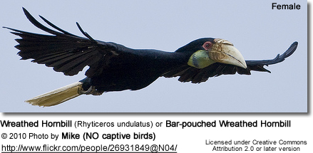 Wreathed Hornbill (Rhyticeros undulatus) or Bar-pouched Wreathed Hornbill - Female