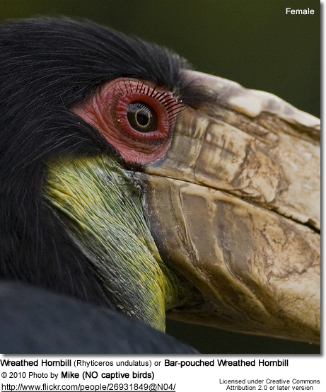 Wreathed Hornbill (Rhyticeros undulatus) or Bar-pouched Wreathed Hornbill