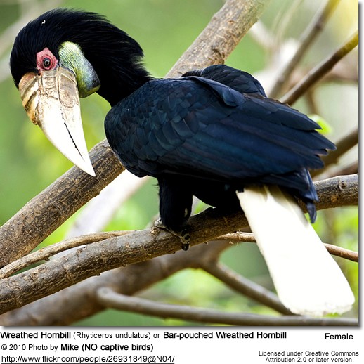 Wreathed Hornbill (Rhyticeros undulatus) or Bar-pouched Wreathed Hornbill 26931849