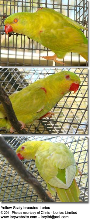 Yellow Scaly-breasted Lories