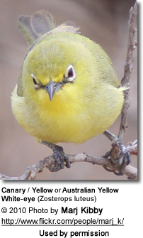 Canary White-eyes aka Yellow White-eyes or Australian Yellow White-eyes (Zosterops luteus)