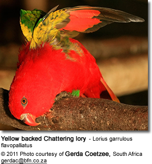 Yellow backed Chattering lory - Lorius garrulous flavopalliatus